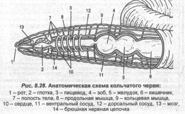 Анотомическая схема кольчатого червя