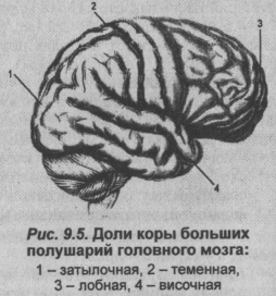 Доли коры больших полушарий головного мозга