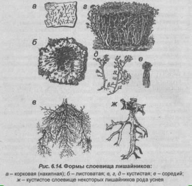 formyi-sloevishha-lishaynikov