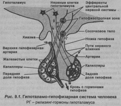 gipotalamo-gipofizarnaya-sistema-cheloveka