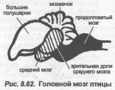 golovnoy-mozg-ptitsyi