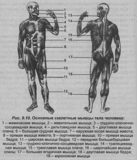 Основные скелетные мышцы тела человека