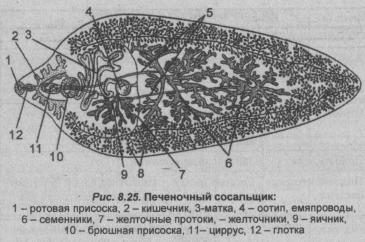 pechenochnyiy-sosalshhik