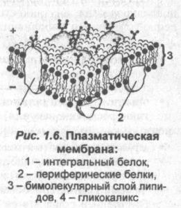 plazmennaya-membrana