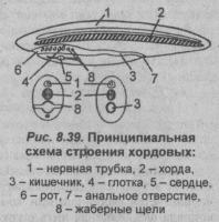 Принципиальная схема строения хордовых