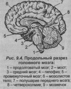 Продольный разрез головного мозга