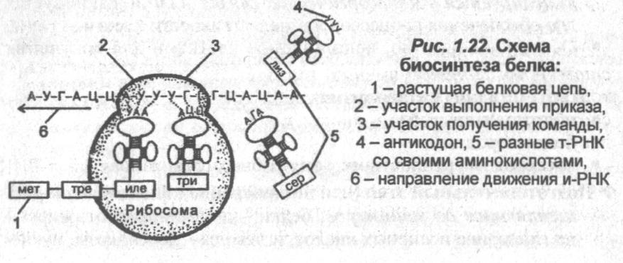 shema-biosinteza-belka