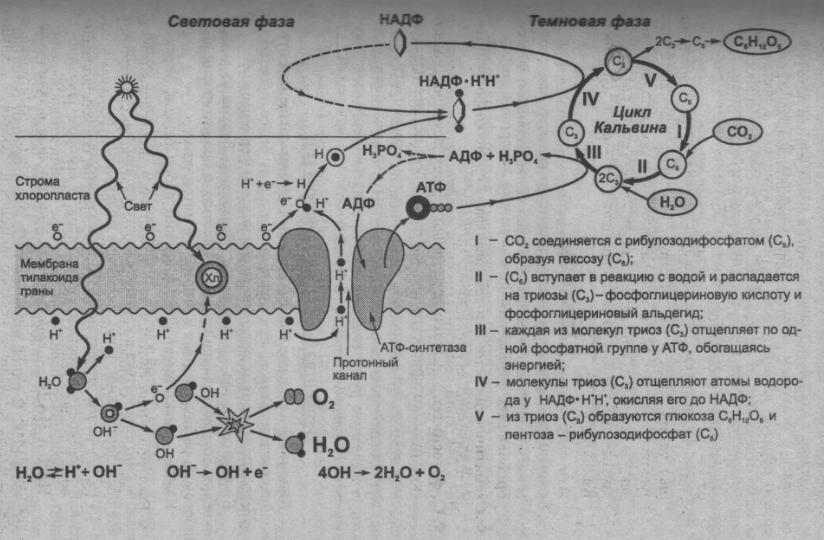 shema-fotosinteza