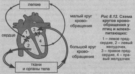 shema-krugov-krovoobrashheniya-u-ptits-i-mlekopitayushhih