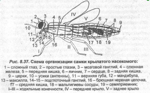 Схема организации самки крылатого насекомого