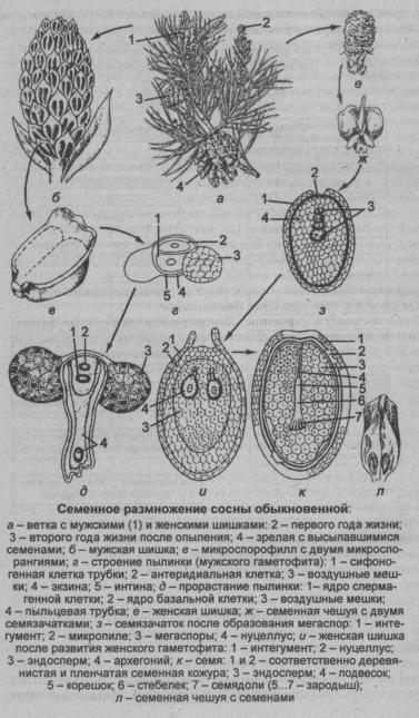 shema-razmnozheniya-sosnyi-obyiknovennoy