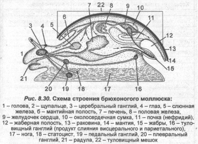 Схема строение брюхоногого моллюска
