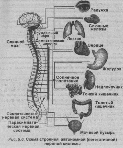 Схема строения автономной (вегетативной) нервной системы