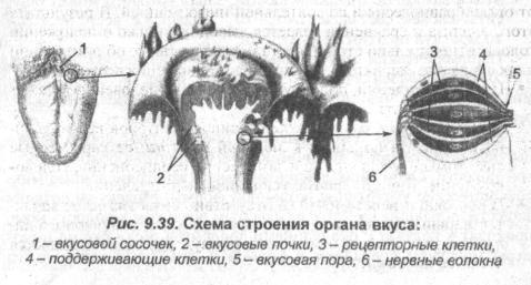 Схема строения органа вкуса
