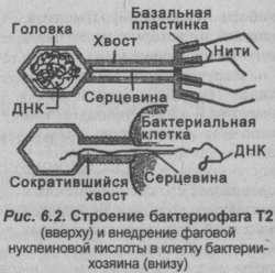 stroenie-bakteriofaga-t2