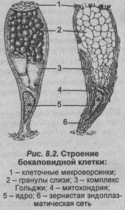 stroenie-bokalovidnoy-kletkai