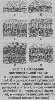 stroenie-epitelialnoy-tkani