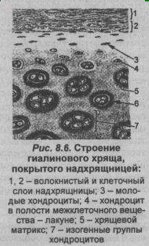 stroenie-gialinovogo-hryashha-pokryito-nadhryashhnitsey
