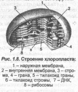 stroenie-hloroplasta