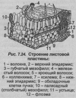 stroenie-listovoy-plastinyi