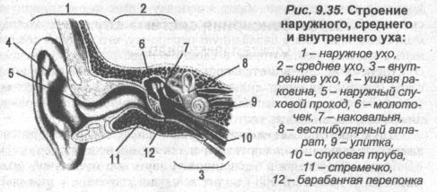Строение наружного, среднего и внутреннего уха