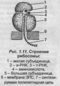 stroenie-ribosomyi