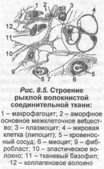 stroenie-ryihloy-voloknistoy-soedinitelnoy-tkani