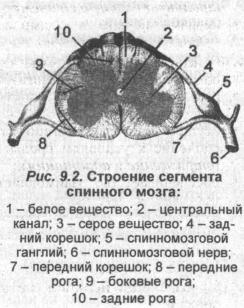 Строение сегмента спинного мозга
