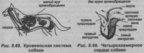 stroenie-sobaki-2