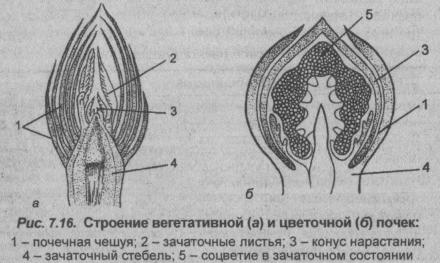 stroenie-vegetativnoy-i-tsvetochnoy-pochek
