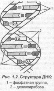struktura-dnk