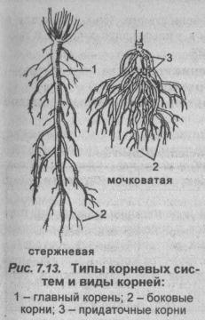 tipyi-kornevyih-sistem-i-vidyi-korney