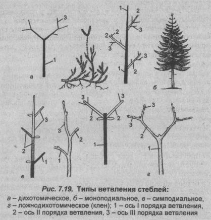 tipyi-vetvleniya-stebley